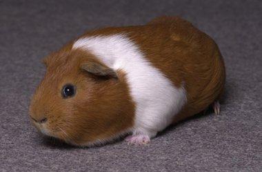 guinea pig1296049581