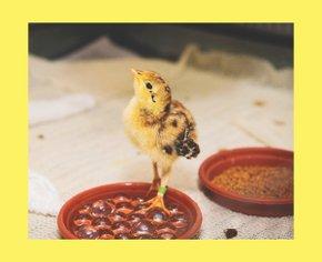 Из-за пандемии американцы скупают цыплят, чтобы всегда иметь яйца